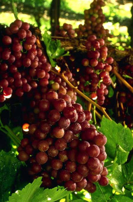 Red grapes on the vine.